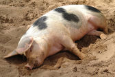 Sleeping pig — Stock Photo