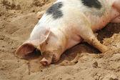 спящая грязные свиньи — Стоковое фото