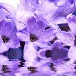 Stock Photo: Hyacinthus flower