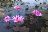 Pink lotus in the pond. — Stock Photo