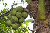 Noce di cocco — Foto Stock