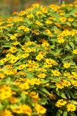 žluté květy. — Stock fotografie
