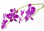Purple Orchids — Foto Stock