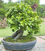 árboles bonsái. — Foto de Stock
