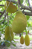 Jackfruit tree — Stock Photo