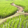Rice Terraced — Stock Photo #27351165