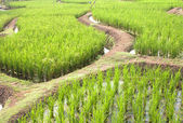 Rice Terraced — Stock Photo