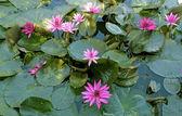 Programu lotus — Zdjęcie stockowe