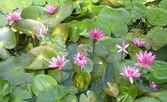 Lotus zvadlá květina po — ストック写真