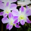 Orchids. — Stock Photo #29524035