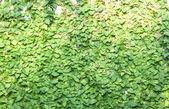 Green Creepe — Stock Photo