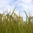 Rice field — Stock Photo #36802451
