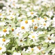 Stock Photo: Flowers white blooming