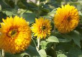 Flowers sunflower — Stock Photo