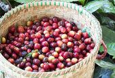 新鲜的咖啡豆 — 图库照片