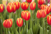 Tulip flower — Stock Photo