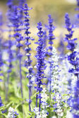 Salvia purple flowers — Stock Photo