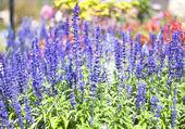 Salvia lila blommor — Stockfoto
