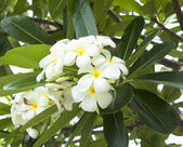 Leelawadee flower — Stock Photo