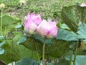 Pink lotus flowe — Stock Photo