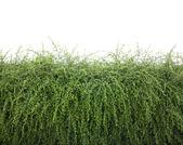 Bushes fence leaves — Stock Photo