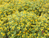 Flower garden yellow — Photo