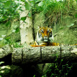 Stock Photo: Tiger in wild