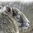 Stock Photo: Lakeland Sheep in winter