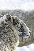 Lakeland Sheep in winter — Stock Photo