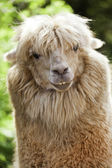 Smiling Alpaca — Stock Photo