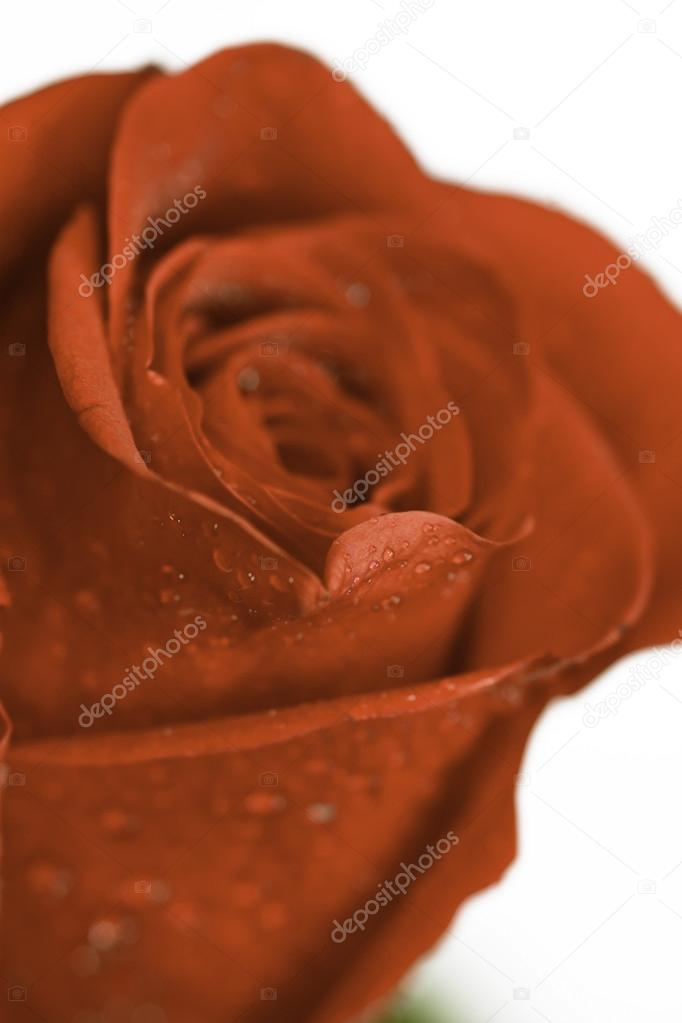 Macro shot of a Red Rose — Stock Photo #14752739