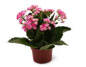 Plantar em vaso com flores cor de rosa idolated em branco — Foto Stock