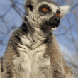 Lemur gaze — Stock Photo