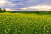 Rape field and sunset — Stock Photo