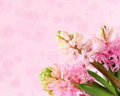 Jacinto fresco sobre un fondo rosa — Foto de Stock