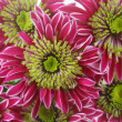 Chrysanthemum background — Stock Photo