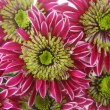 Chrysanthemum background — Stock Photo #20087133