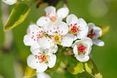 Blossoming pear tree — Stock Photo