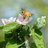 Butterfly on flowering tree — Stock Photo
