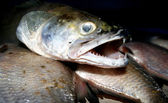 Zander (Sander lucioperca), freshwater fish — Stock Photo