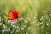 Einsame mohnblume mit unscharfen hintergrund — Stockfoto