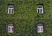 Wall of a house with window covered with ivy — Zdjęcie stockowe