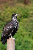 Young eagle sitting on a log — Stock Photo