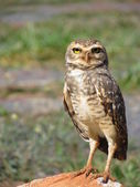 Owl perched staring 2. — Stock Photo