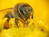 Bee collecting pollen on a yellow flower — Stock Photo
