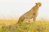 Female Cheetah — Stock Photo