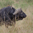 Stock Photo: Cape Buffalo