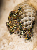 スズメバチの巣 — ストック写真
