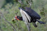 Southern Ground Hornbill with prey — Stock Photo