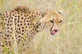 Female cheetah licking its mouth — Stock Photo